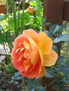 可憐な薔薇が咲いた・・・_a0089450_21244388.jpg