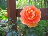 可憐な薔薇が咲いた・・・_a0089450_21342539.jpg