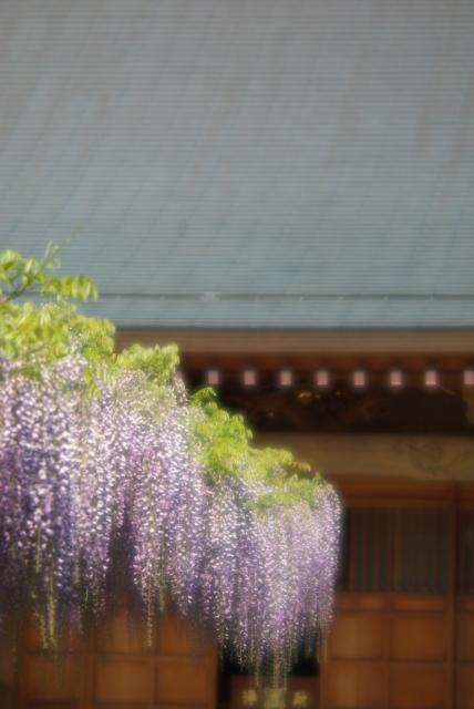 高圓寺の藤棚・2_f0018464_1827043.jpg