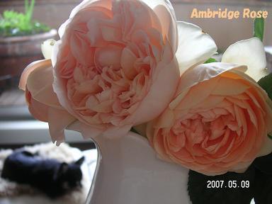 アンブリッジ・ローズ_d0006467_19502559.jpg