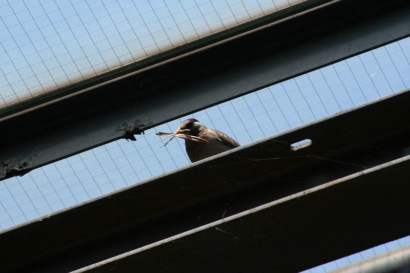 ★サンショウクイがいたそうです 先週末の鳥類園(2007.5.3~5.6)_e0046474_12202592.jpg