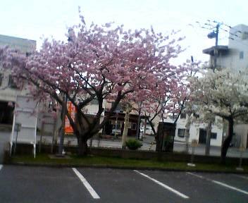 NHK函館放送局のさくら_b0106766_1055759.jpg