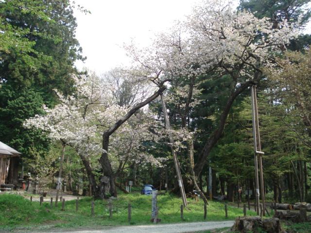 磐梯神社大鹿桜_a0096989_837861.jpg