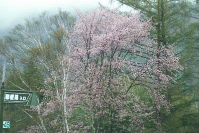 ビーナスライン「プール平」の桜が見頃です_d0102327_12485281.jpg