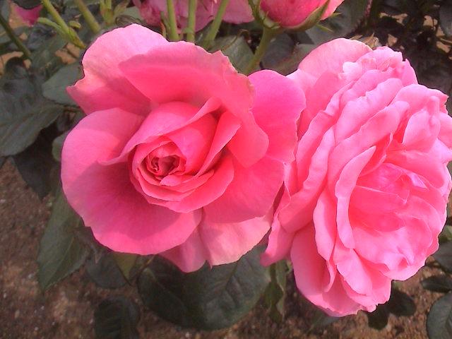 公園のバラ。_e0060555_1810412.jpg