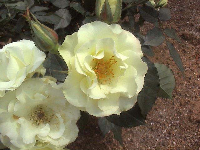 公園のバラ。_e0060555_18112339.jpg