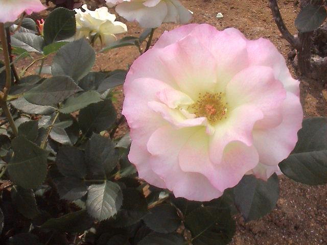 公園のバラ。_e0060555_18114292.jpg