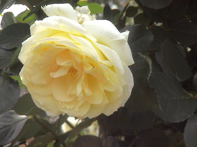 公園のバラ。_e0060555_181256.jpg
