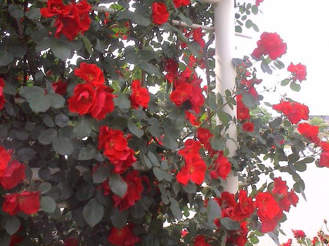 公園のバラ。_e0060555_18144563.jpg