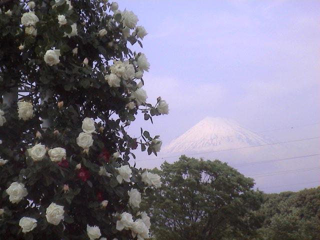 公園のバラ。_e0060555_18151766.jpg