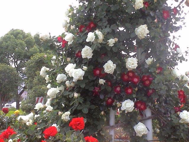 公園のバラ。_e0060555_1815646.jpg