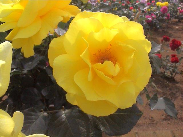 公園のバラ。_e0060555_1842889.jpg