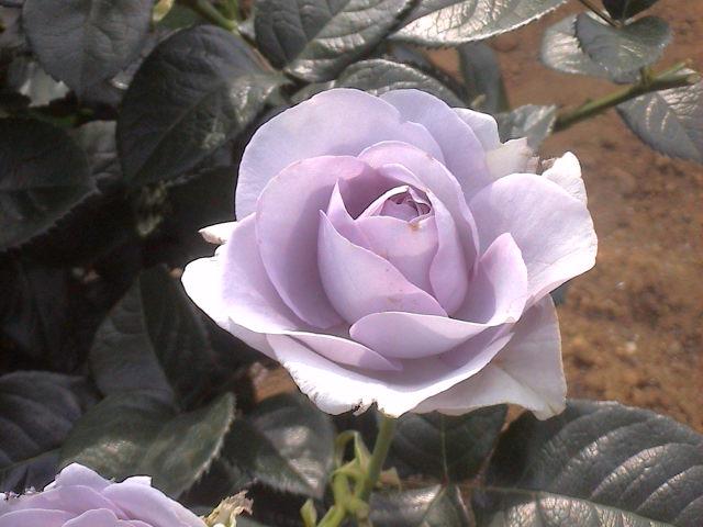 公園のバラ。_e0060555_1844856.jpg