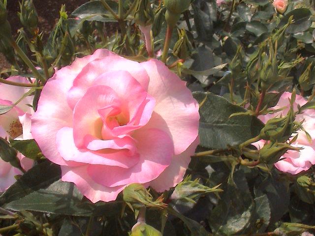 公園のバラ。_e0060555_184890.jpg