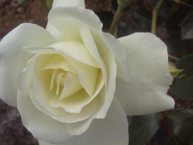 公園のバラ。_e0060555_1863044.jpg