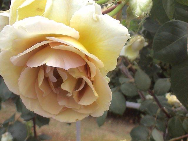 公園のバラ。_e0060555_1884117.jpg