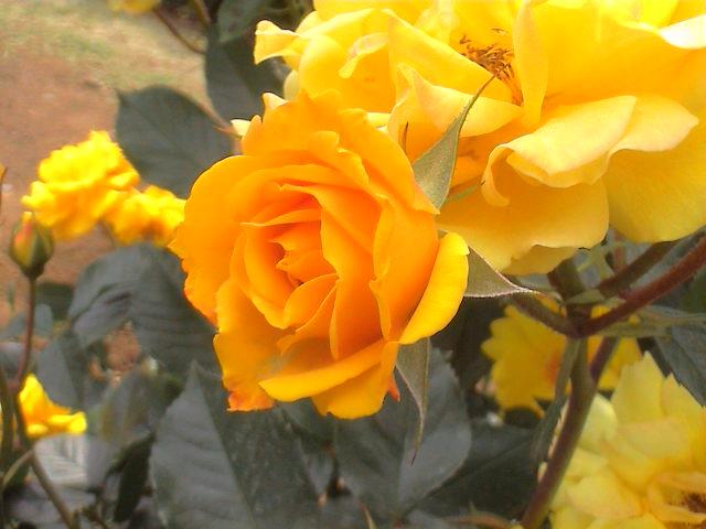 公園のバラ。_e0060555_1891027.jpg