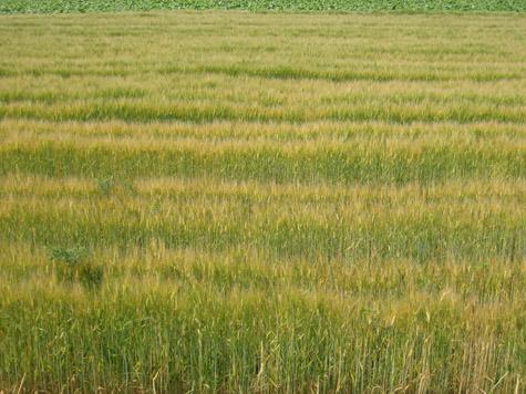 麦の色づく菊池野_c0107829_17535630.jpg