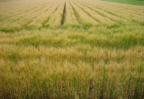 麦の色づく菊池野_c0107829_17573381.jpg