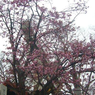 寒中に雨桜_c0062295_2281477.jpg