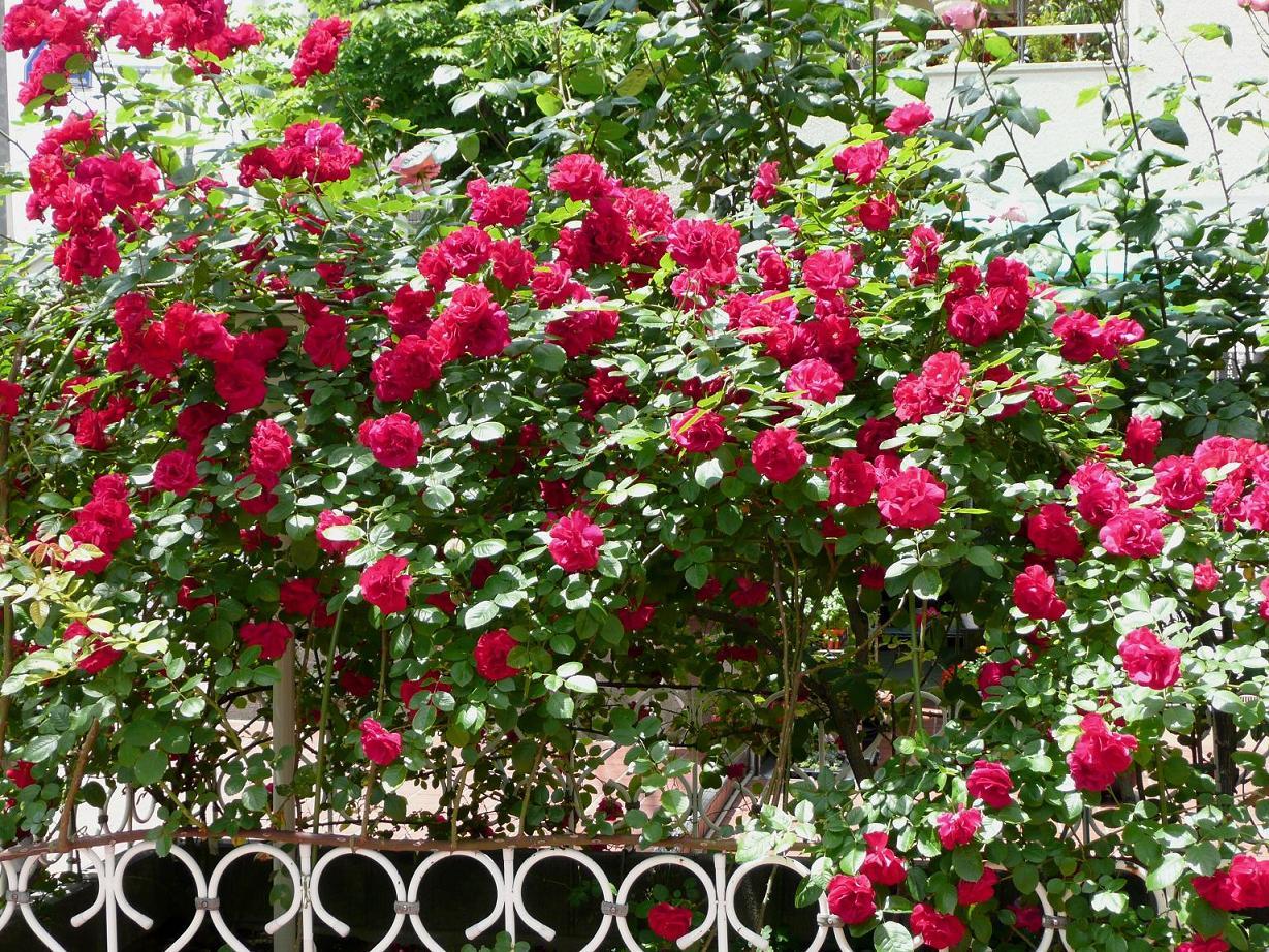 バラの画像 p1_21