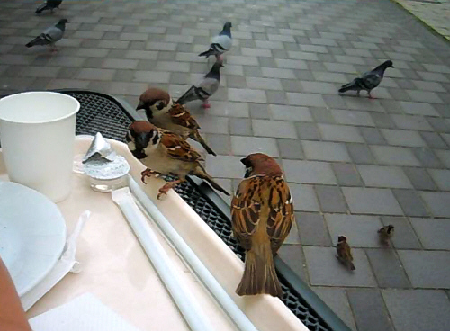 テーブルの上に乗ってきて、パンのおねだりをしているすずめ3羽。ここまで大胆だと・・・あげるしかないですね~(笑)