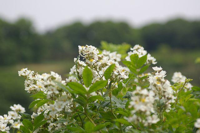 白い花が咲いてた 4  07.5.14_e0070891_20435092.jpg