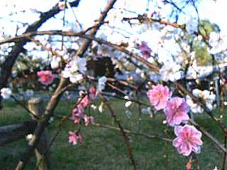 蓼科高原の桜 只今 満開です_d0109415_1225092.jpg