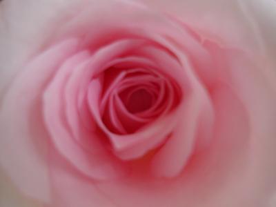 ブログをスタートします♪『駒場バラ会 咲く 咲く 日 誌』_a0094959_1336889.jpg