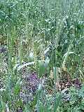 小麦の生育状況_d0027486_20263935.jpg