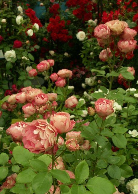 第9回 国際バラとガーデニングショウ。_e0044929_22125951.jpg