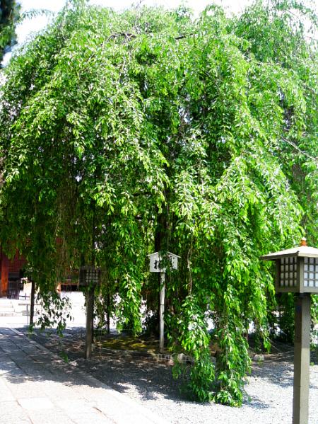大きく立派な枝垂桜の葉のみの姿。一部は地面まで垂れ下がっています。