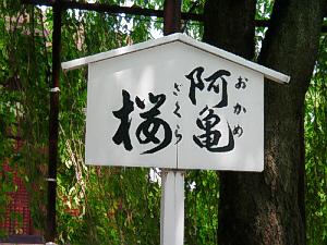 垂れ下がった枝で隠れてしまっていますが、その中に白い看板が立てられていて、阿亀桜ふりがなで、おかめざくらとルビが振ってあります。
