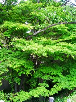 お寺の入り口付近に生えていた大きな木々。緑があまりにも綺麗だったのでパチリ。