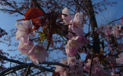 花冷え SAKURA冷え_c0062295_20353657.jpg