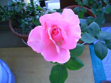 私のバラその後_a0050728_22182358.jpg