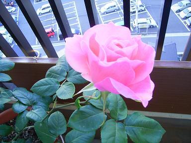 私のバラその後_a0050728_22203323.jpg