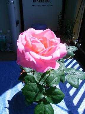 私のバラその後_a0050728_2225424.jpg