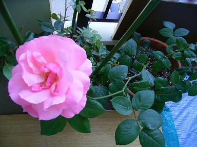 私のバラその後_a0050728_2228766.jpg
