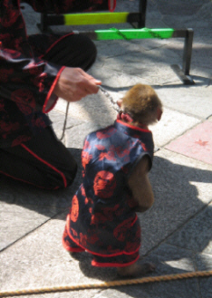 中国の衣装を身に着けたお猿さん。紺色に真っ赤なトリミングが可愛い衣装です。猿使いの人も同じ衣装で。指示に従ってじっと立っている姿がいじらしいです。