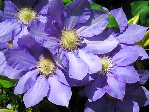 クレマチスの花びらのアップ画像。綺麗な紫色が陽に映えて美しいです。