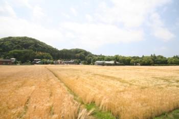 ~麦畑♪~最近多くなったと思いませんか?!_d0082356_1921511.jpg
