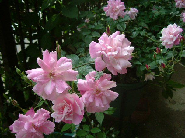 オークリーフ(5月のmy garden)_f0049672_13583572.jpg