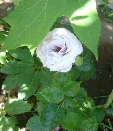 オークリーフ(5月のmy garden)_f0049672_140635.jpg