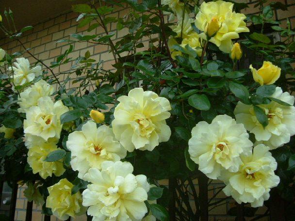 オークリーフ(5月のmy garden)_f0049672_1412733.jpg