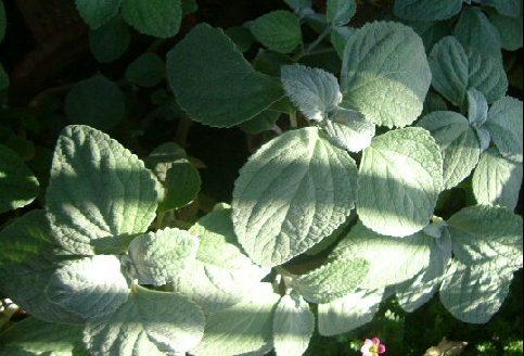 オークリーフ(5月のmy garden)_f0049672_1416661.jpg
