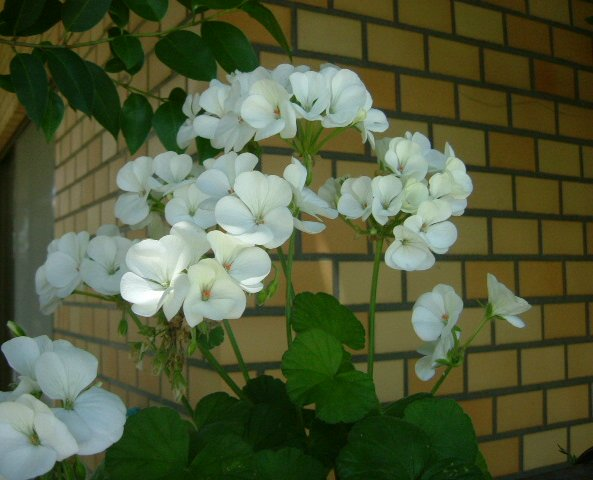 オークリーフ(5月のmy garden)_f0049672_14195220.jpg
