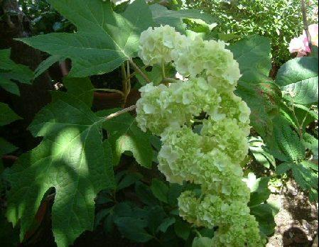 オークリーフ(5月のmy garden)_f0049672_1423154.jpg
