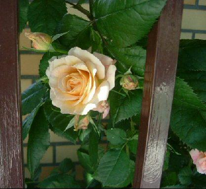 オークリーフ(5月のmy garden)_f0049672_1432616.jpg