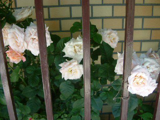 オークリーフ(5月のmy garden)_f0049672_1434715.jpg